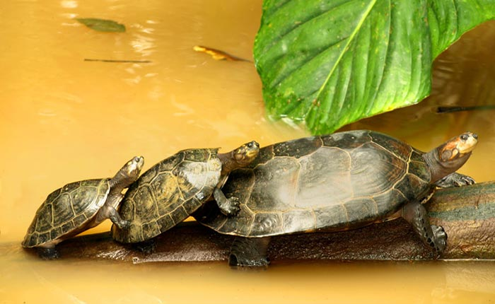cotococha-lodge-turtles