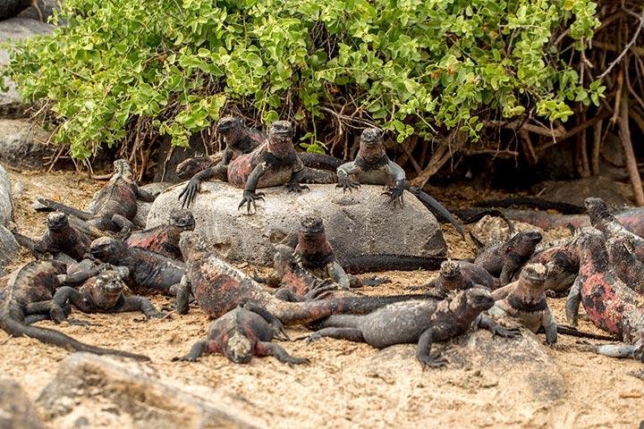 galapagos-isabela-island-iguana