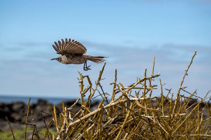 galapagos-isabela-wild-birds