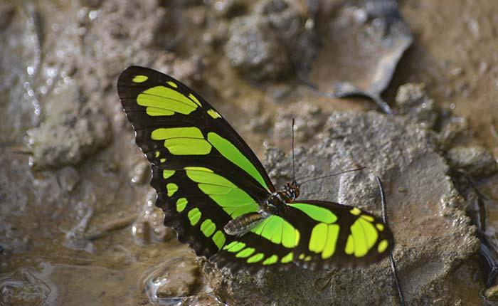 laselva-ecolodge-butterfly
