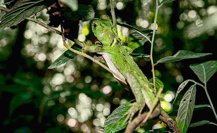 laselva-ecolodge-lizard