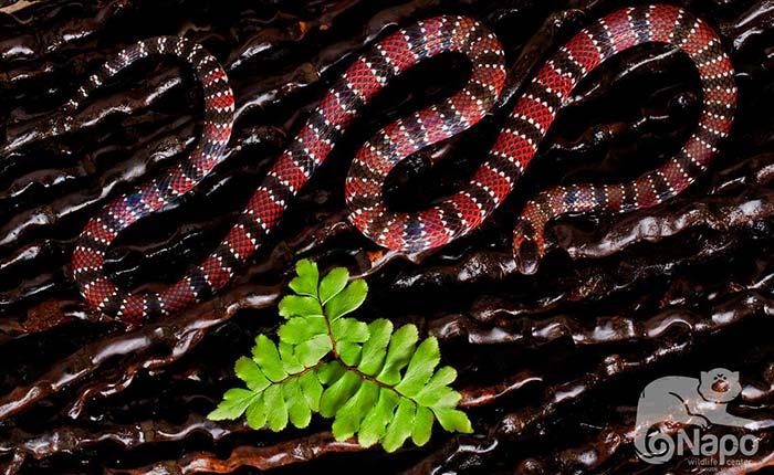 napo-wildlife-snake