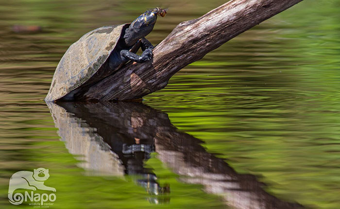 napo-wildlife-turtle