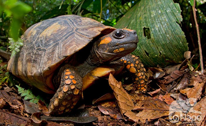 napo-wildlife-turtle2