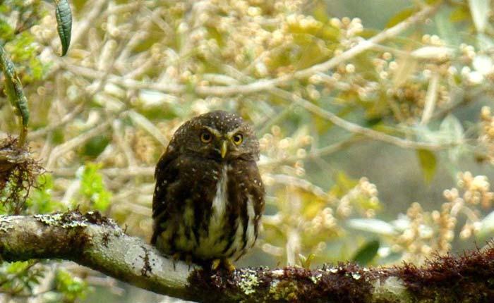 bird-andean-pygmy-owl