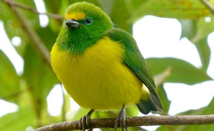 bird-blue-naped-chlorophonia
