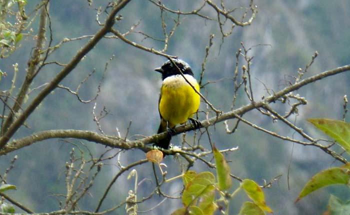 bird-buff-breasted-mountain