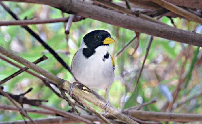 bird-golden-winged-sparrow