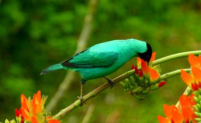 bird-green-honeycreeper