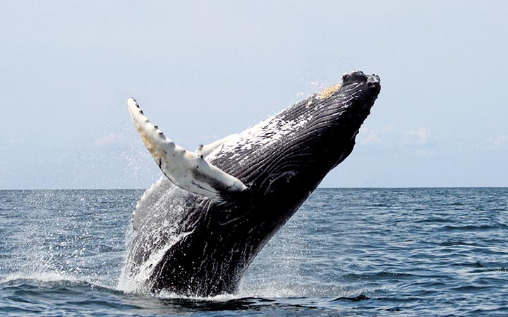 Humpback Whales in Machalilla National Park