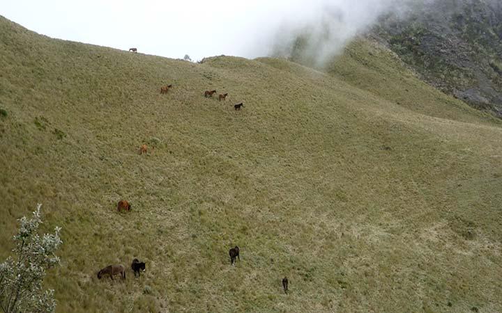 pasochoa-wildlife-horses