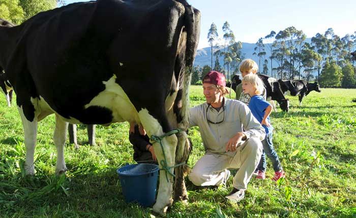 zuleta-ranch-cow