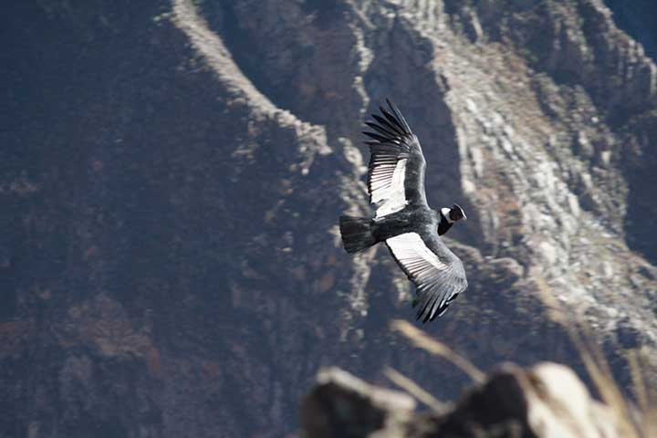 colca-canyon-condor