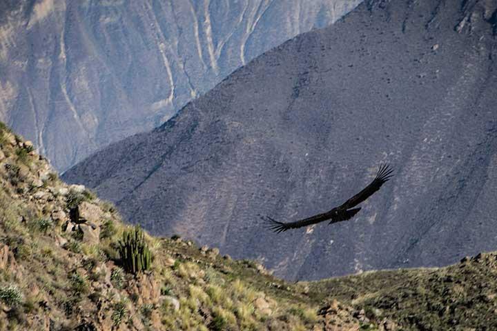 colca-condor-andean-flying