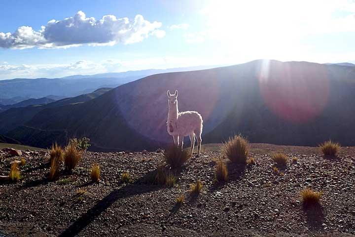 yungas-alpaca