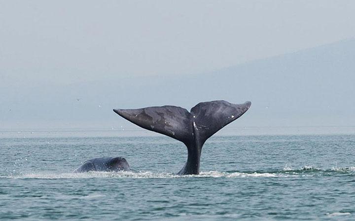 humpback, whale, pacific, coast, ecuador, beaches